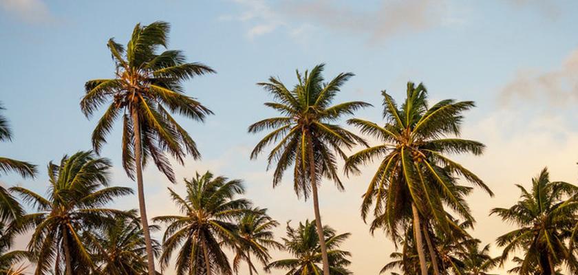 Azúcar de coco: endulza tu vida de manera saludable, cocotero